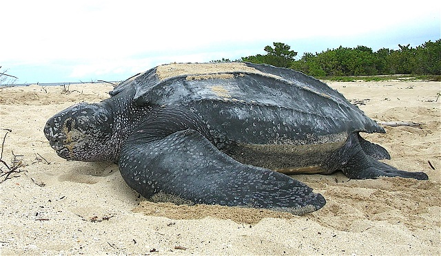 Andaman turtle