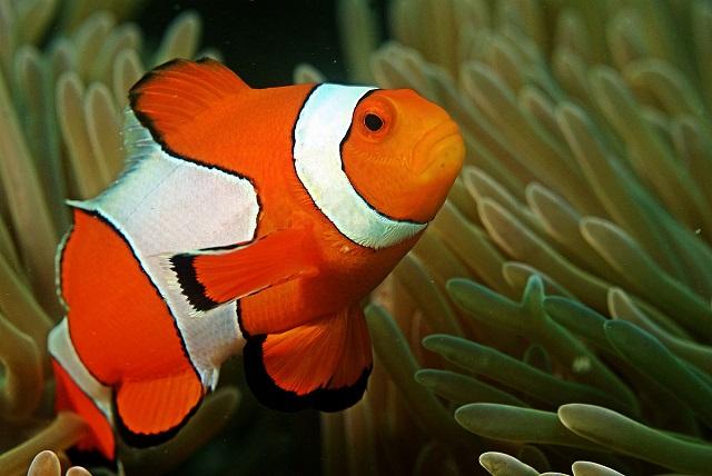ClownFish andaman