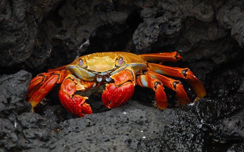 Grapsus_grapsus Wildlife Watching in Galápagos Islands