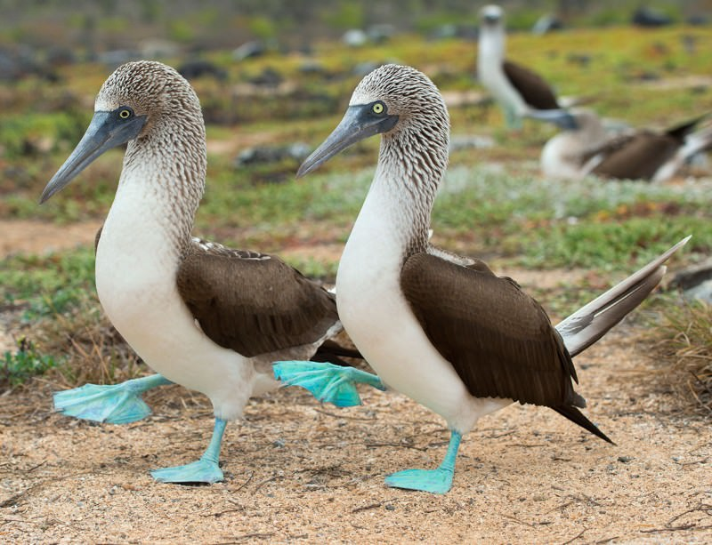 blue booted booby in Galápagos Islands