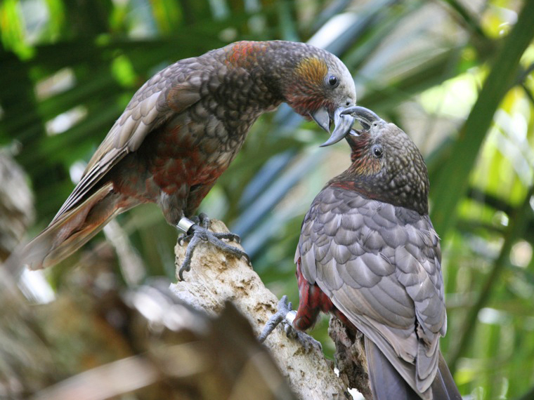 South Island Kaka