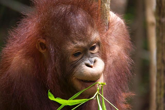 Orangutans, Borneo Island wildlife