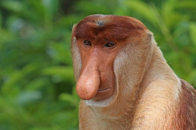 Proboscis monkey, Borneo Island