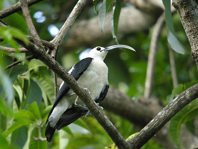 Sickle-billed Vanga, Madagascar Island