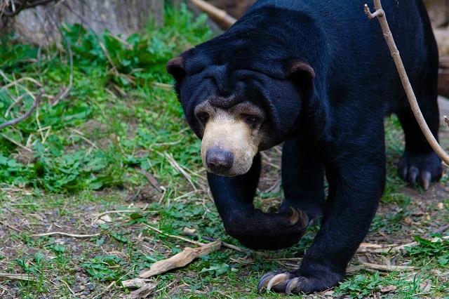 Sun Bear of Borneo Island Wildlife