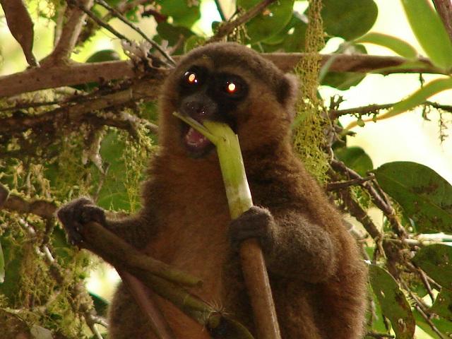 lemurs of Madagascar Island