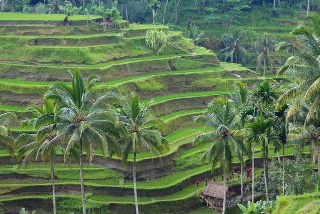 Bali Terrace Farming