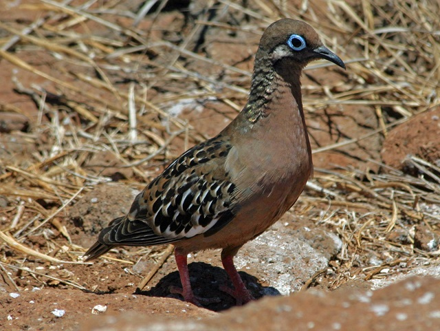 Galapagos Islands Dove