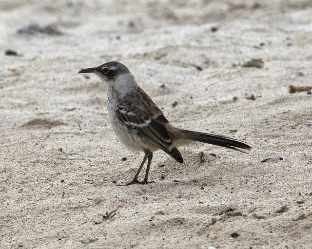 Galapagos Islands Mockingbird