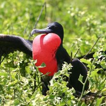 Galapagos Islands frigatebird