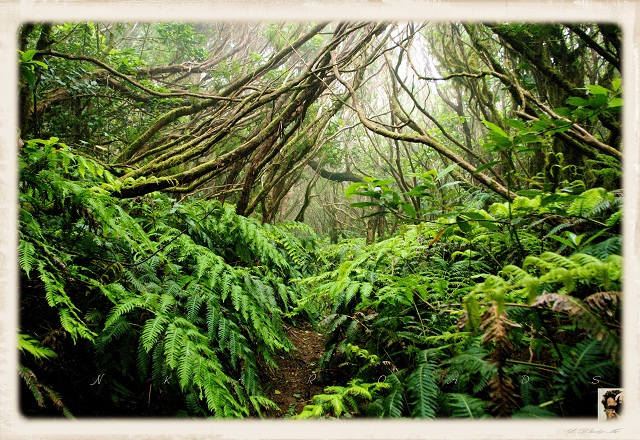 Laurel_forest in La Gomera Island