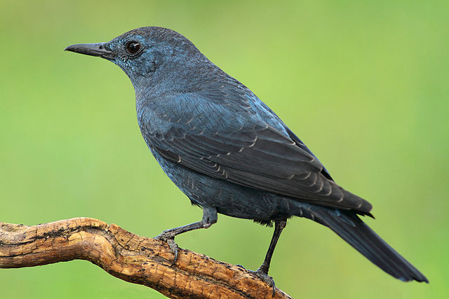 Menorca Island Blue rock thrush