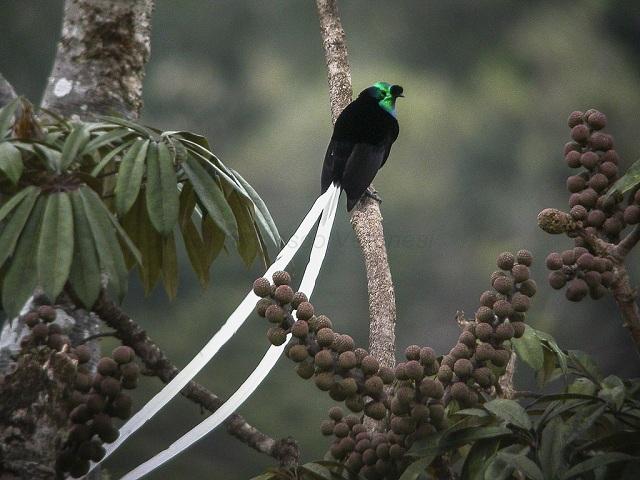 Ribbon Tailed Astrapia Papua New Guinea