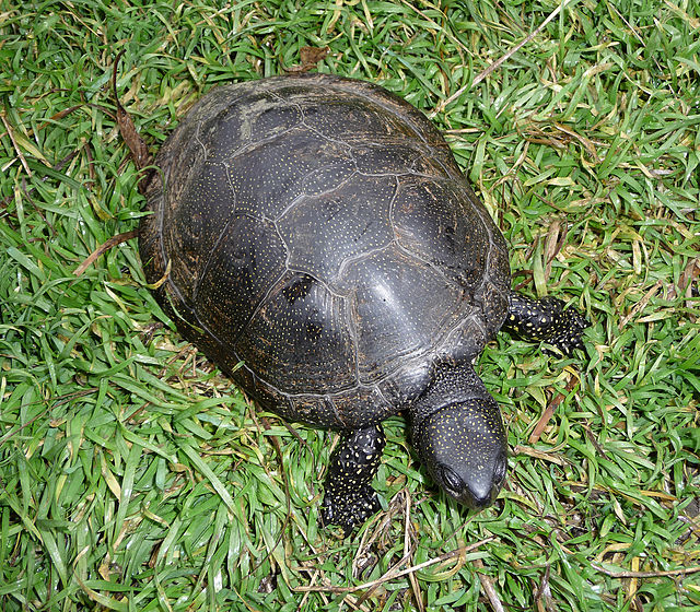 Menorca Island Tortoise