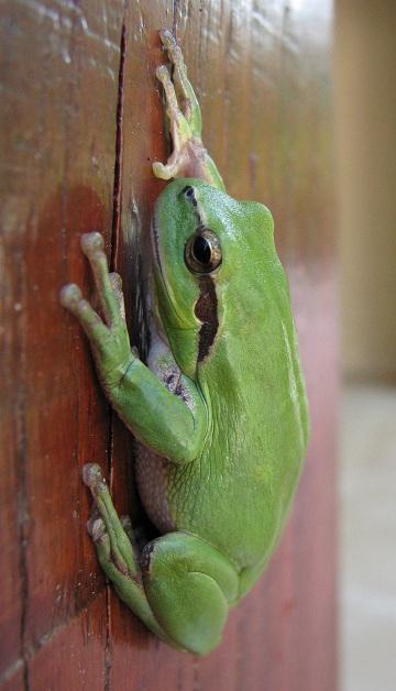 Menorca Island Treefrog