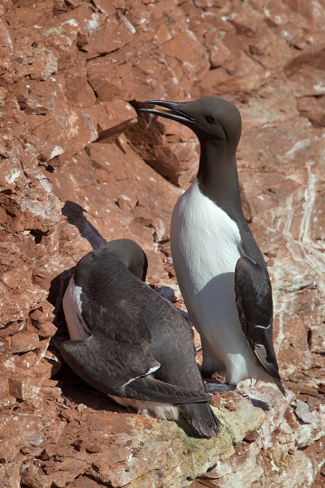 Wildlife Watching guillemot
