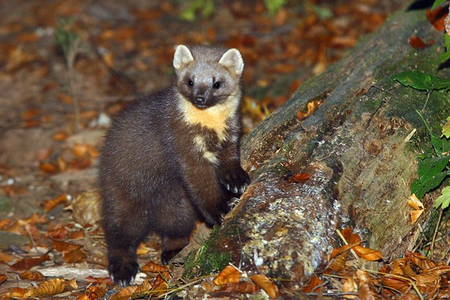 Menorca Island - pine martens