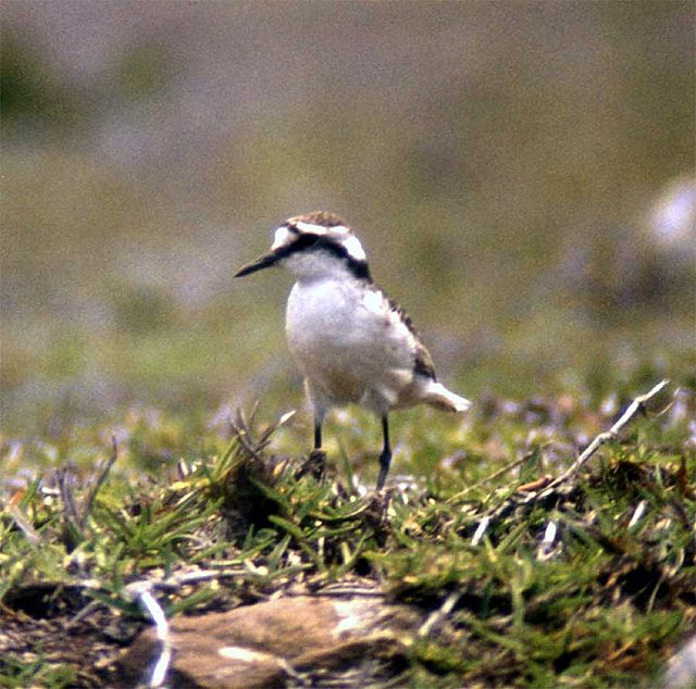 Plover alias Wirebird