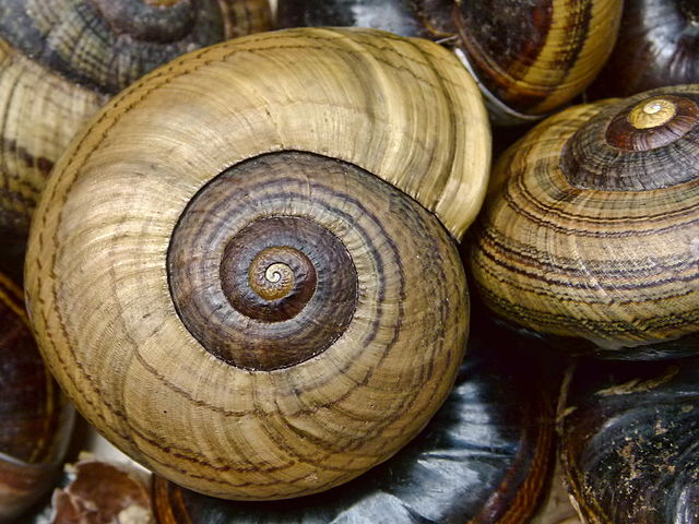 giant snails