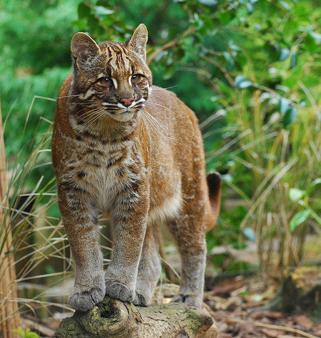Indonesia Asian Golden Cat