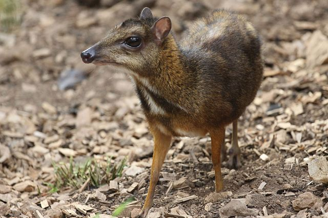 Javan Mouse-deer