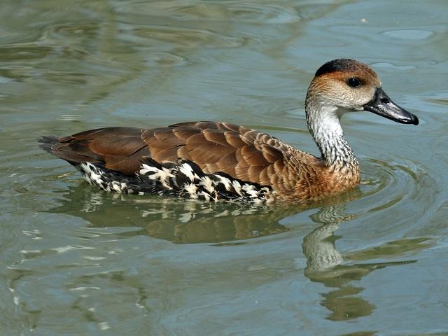 Bahamas Duck