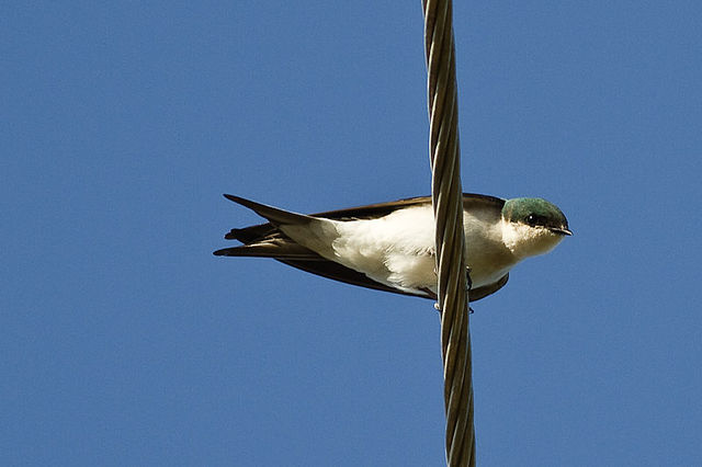 Bahamas Swallow