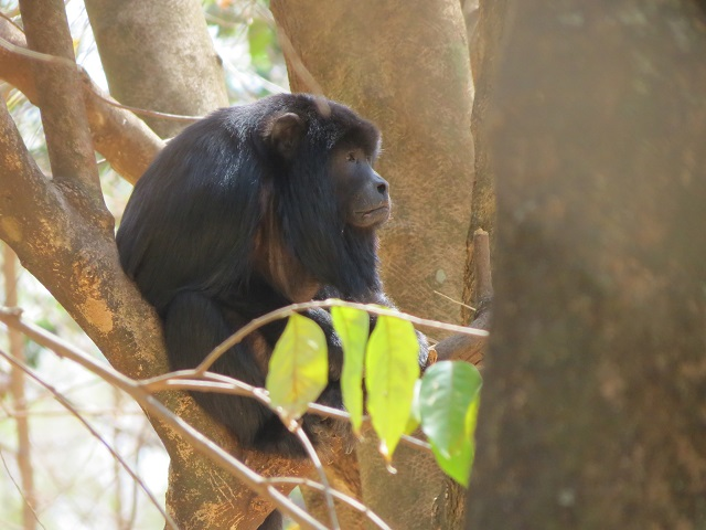 Black Howler-monkey
