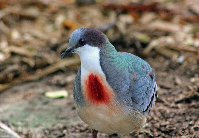 Mindanao Bleeding Heart Dove