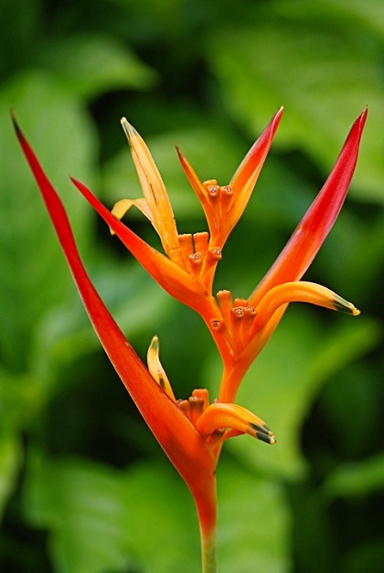 Bird of Paradise Flower, Reunion Island