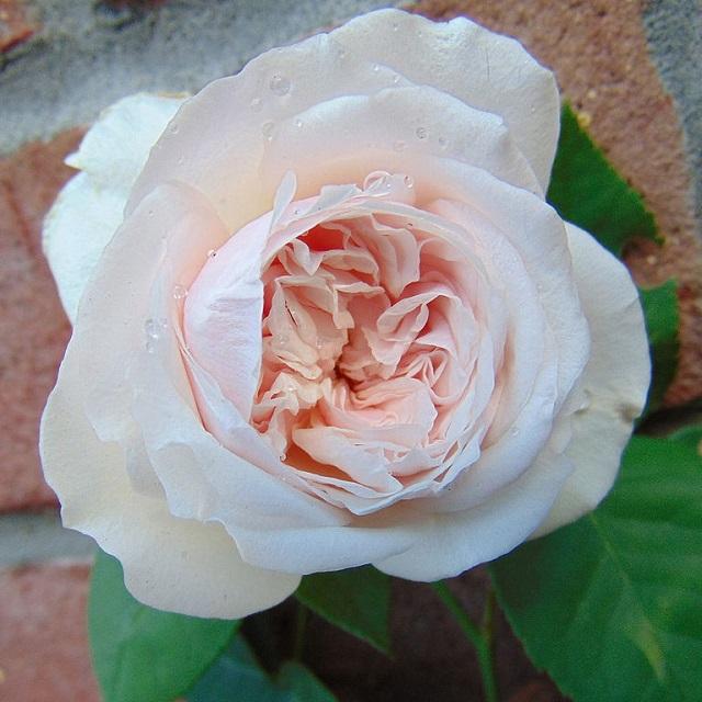 Bourbon rose