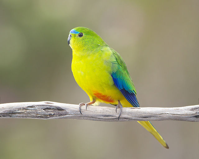 Phillip Island Tour Orange -bellied Parrot