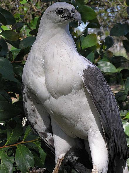 Phillip Island Tour White-bellied Eagle