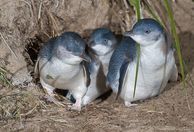 little penguins Phillip Island Tour