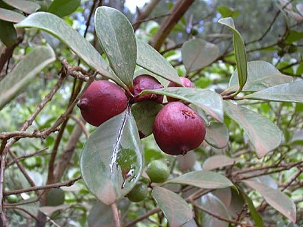 Chinese Guava