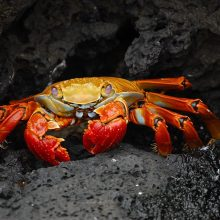 Grapsus_grapsus Wildlife Watching in Galápagos Islands
