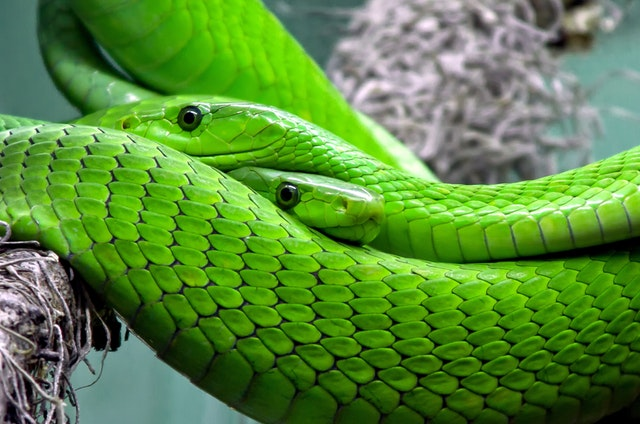 Bilious green snakes