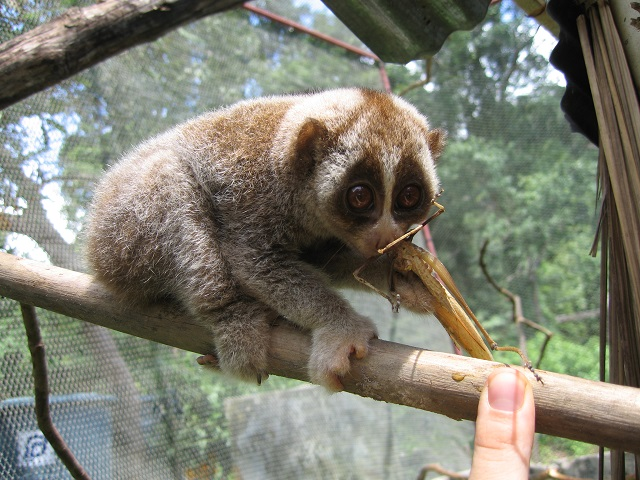 Slow loris of Borneo Island