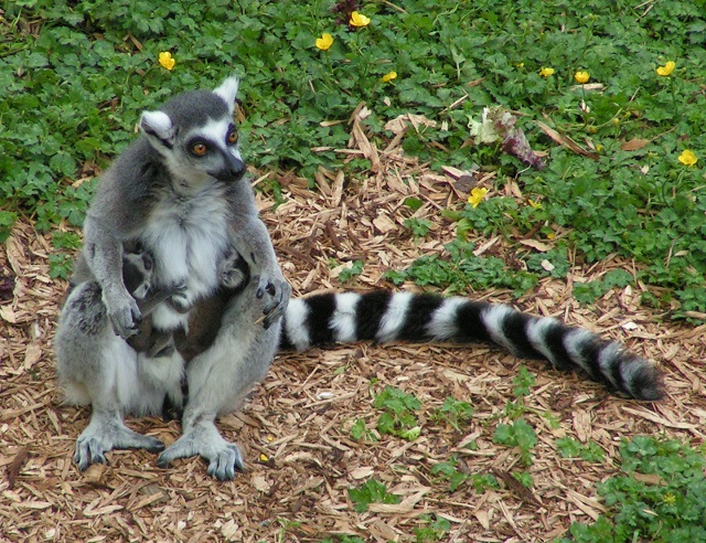 Madagascar Island ring-tailed lemurs
