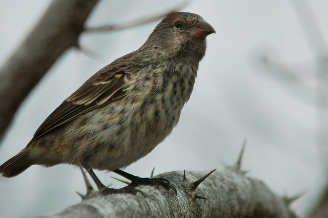 Darwin's Finch, Galapagos Islands