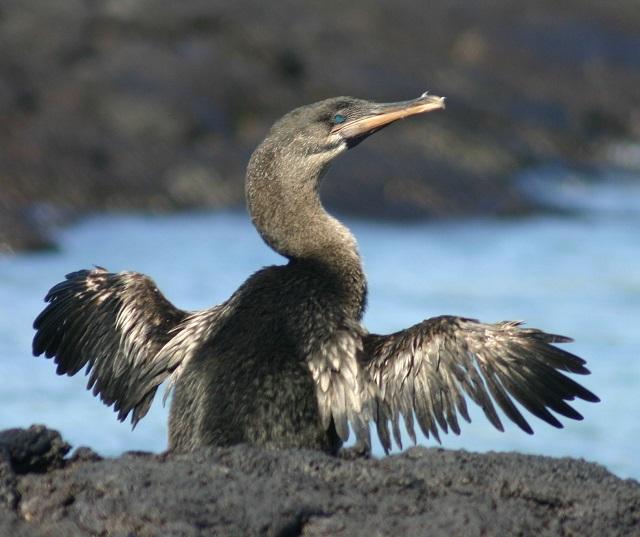 Flightless Cormorants, Galapagos Islands