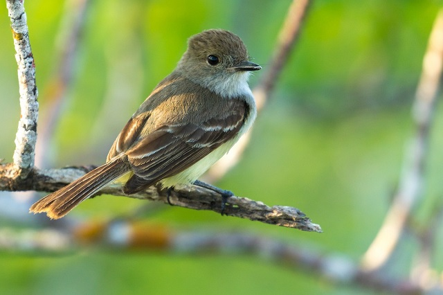 Flycatcher Bird, Galapagos Islands