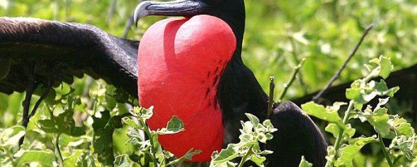 Galapagos Islands frigatebird