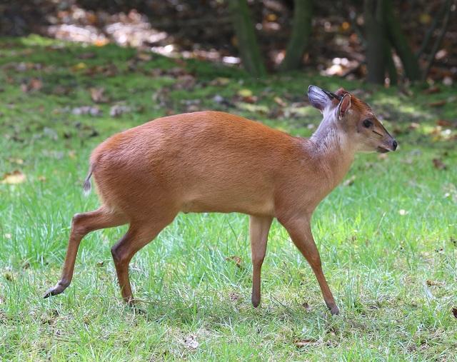 Duiker antelope