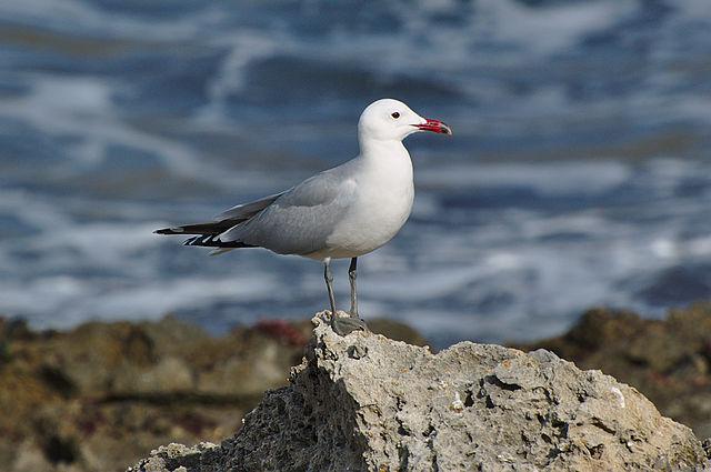 Menorca Island Audouin's gull