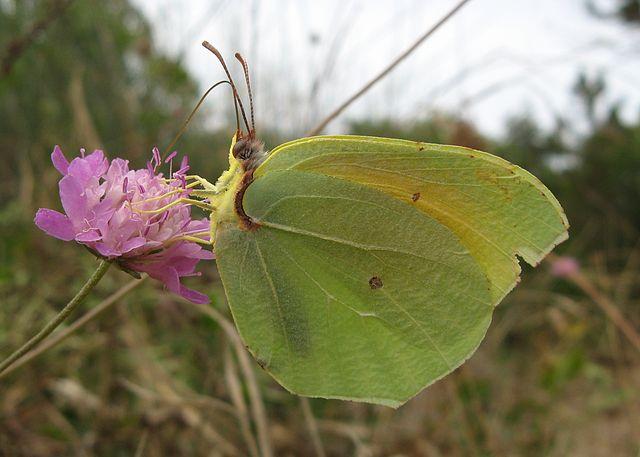 Cleopatra butterfly Menorca Island