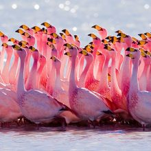 Wildlife Watching Flamingoes