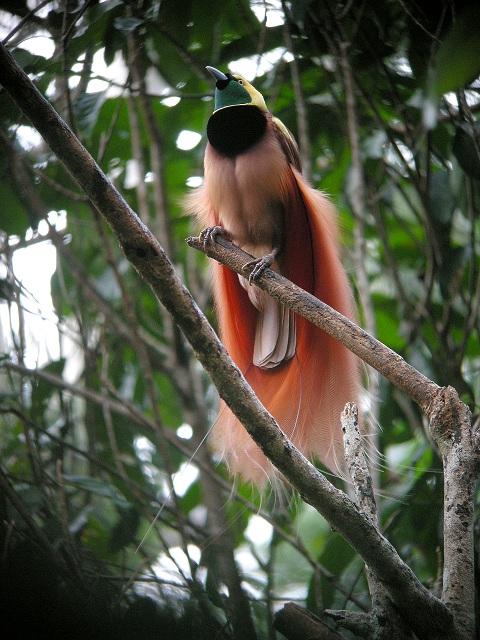Raggina bird of paradise
