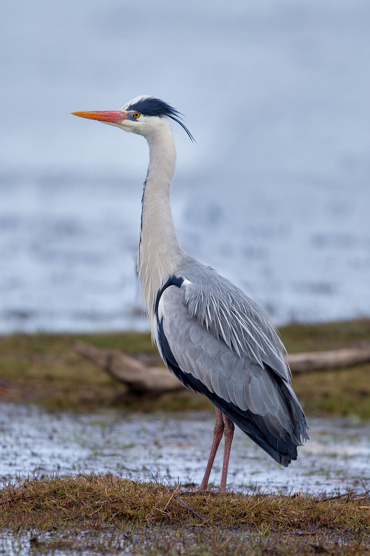Heron Eyots in River Thames
