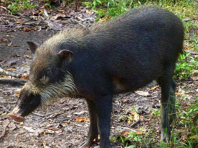 Bornean bearded pig Indonesia